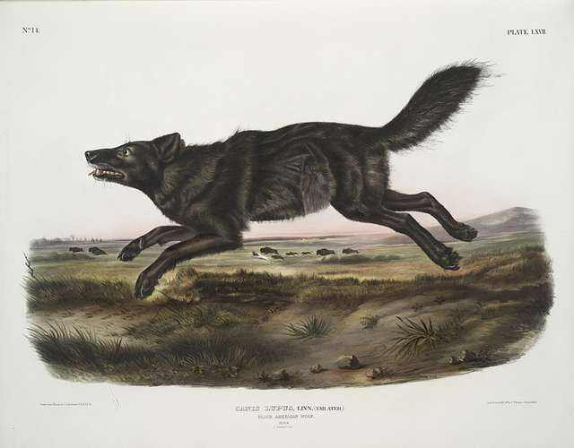 Canis lupus, Black American Wolf. Male. 1/3 Natural size.