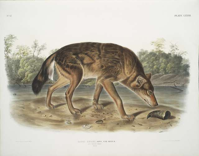 Canis lupus, Red Texan Wolf. (Male.)