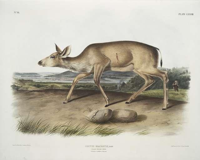 Cervus macrotis, Black-tailed Deer. Female. Summer pelage.