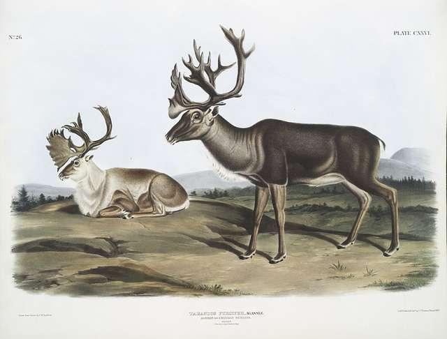 Tarandus furcifer, Caribou, or American Rein Deer. Males. 1. Summer pelage, 2. Winter pelage.