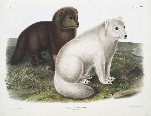 Vulpes lagopus, Arctic Fox. Winter & Summer pelage.