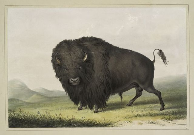 Buffalo Bull, grazing.
