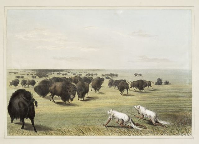 Buffalo hunt. Under the white wolf skin.