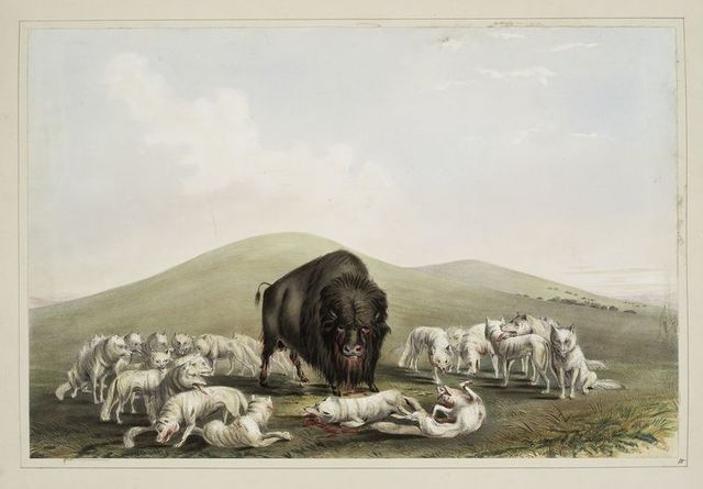 Buffalo hunt. White wolves attacking a buffalo bull.
