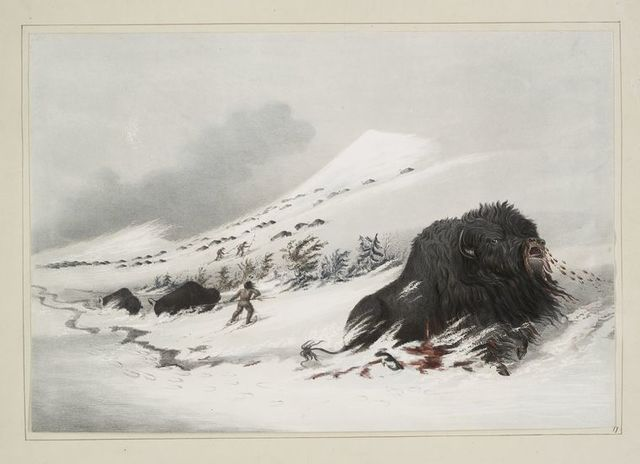 Dying buffalo bull, in snow drift.