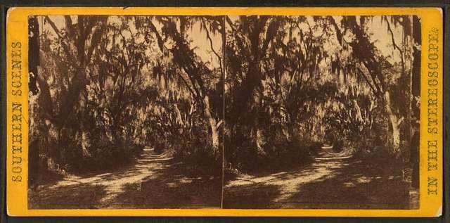 Live Oak Avenue, at R.B. Rhett's plantation, Beaufort, Port Royal Island, S.C.