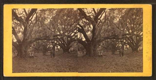 Live oaks, Habersham place, Port Royal Island, S.C.