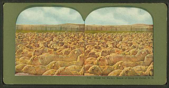 Ready for market, bunch of sheep in Corral, N.D.