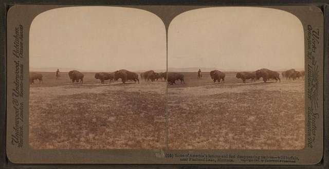Some of America's famous and fast disappearing natives--wild buffalo near Flathead Lake, Montana.
