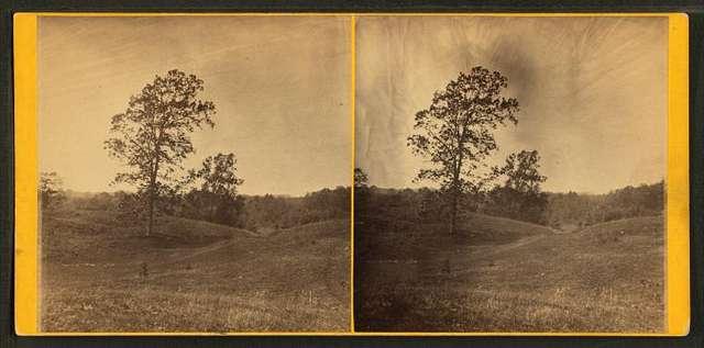 Walnut trees on pasture.