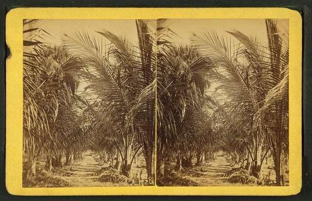 Young cocoanut [coconut] grove.