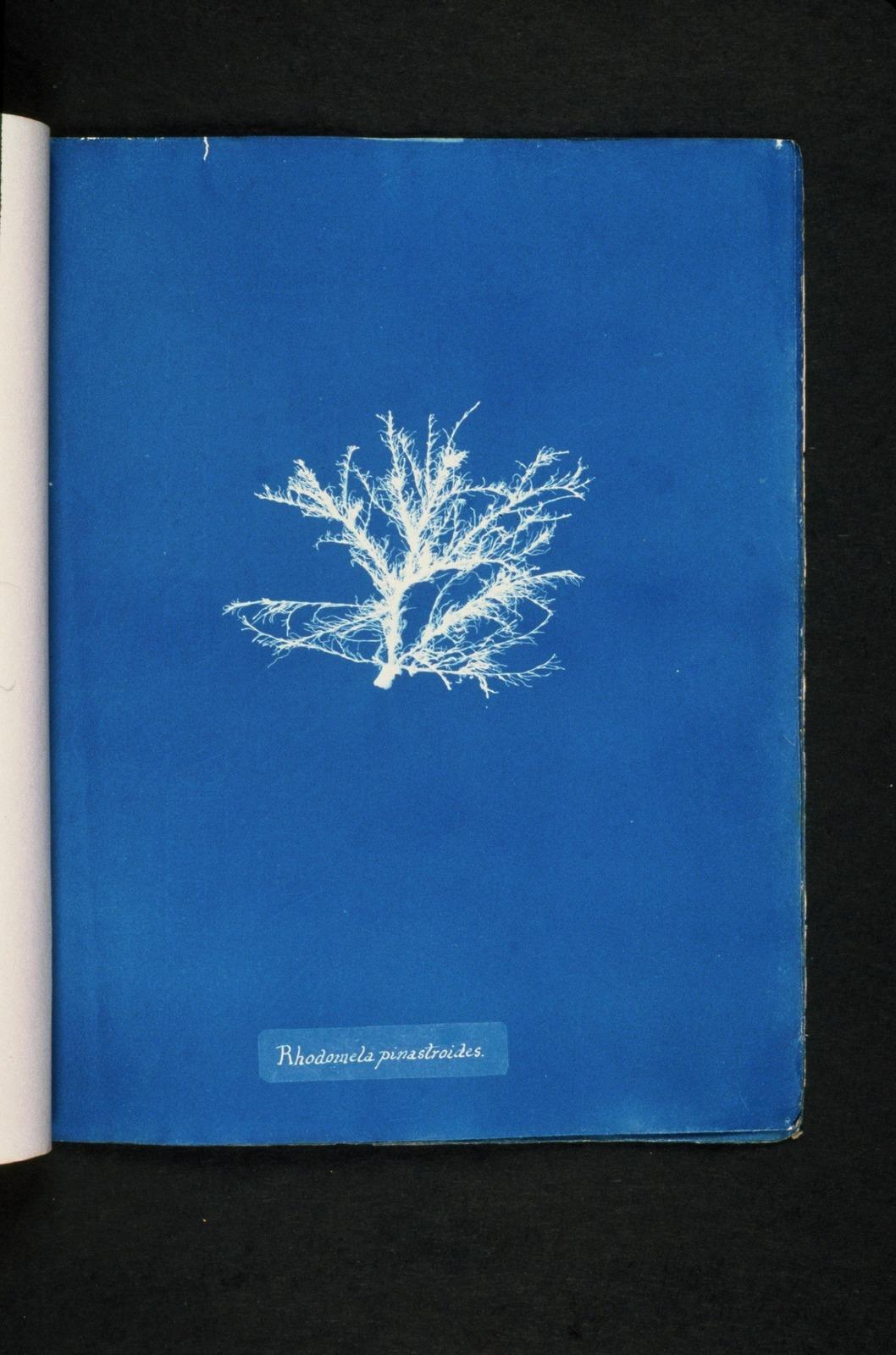 Rhodomela pinastroides.