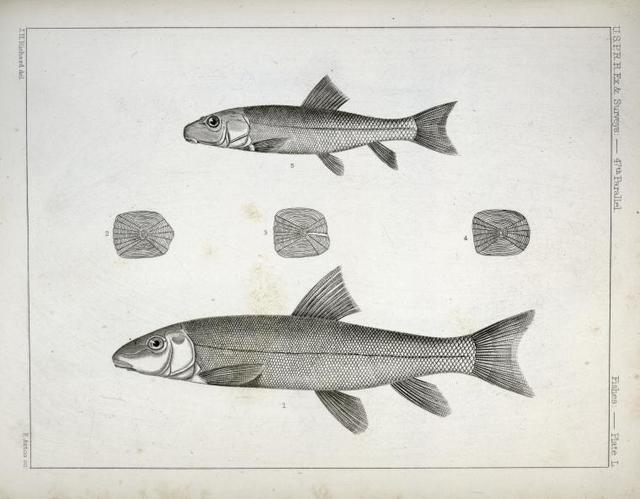 1-4.  Acomus lactarius, Milk River Sucker; 5. Young of the same.