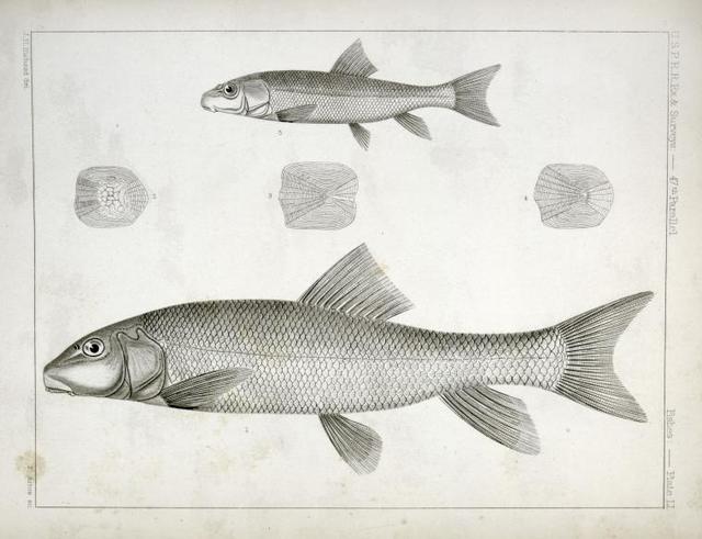 1-4. Catostomus sucklii, Nebraska Sucker; 5. Young of the same.