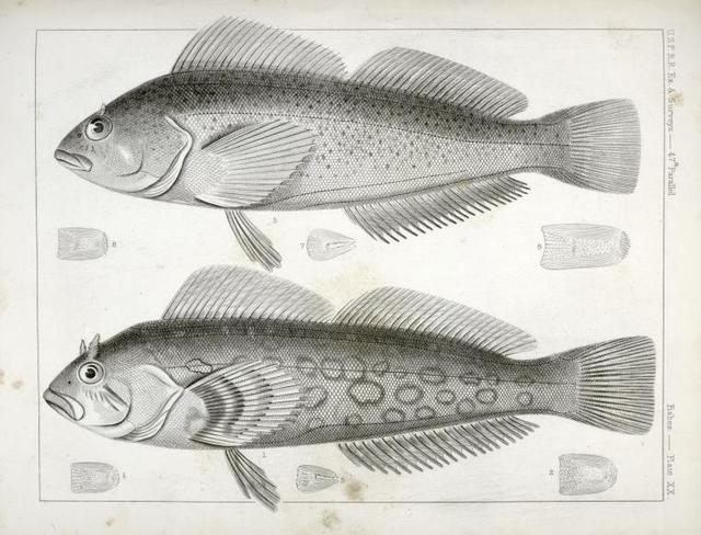 1-4. Chiropsisi pictus, Painted Chiropsis; 5-8. Chiropsis guttatus, Speckled Chiropsis.
