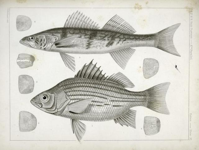 1-4. Labrax chrysops, Bass of the Mississippi, 5-8. Stizostedion boreus, Okow or Pike Perch.