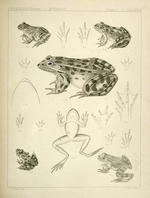 1. Pana halecina, Spotted Frog, b. under surface of head, c.  under surface of left fore foot, d. under surface of left hind foot; 2. Rana boylii, Boyl's Frog (California), a. b. lateral and under views, c. d. as in preceding,; 3. Rana boylii, Boyl's Frog, young. b. c. as c. and d.  in preceding; 4. Rana septentrionalis, Northern Frog (Fort Ripley, Minnesota). a. b. etc., as in preceding; 5. Rana catesbiana, Catesby's Frog. References as in Fig. 2.