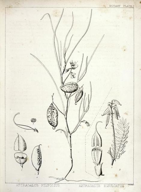 A. Astragalus filifolius, 1. Pistil enlarged, 2. Cross section of the ovary enlarged, 3. Legume transversaly divided, 4. Same longitudinally divided; B. Astragalus bisulcatus, 5. Fruit with a leaf, etc., 6. Fruit, with the calyx, etc., transversely divided, enlarged to thrice the natural size.