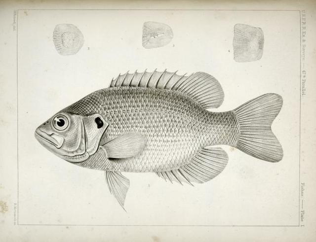 Ambloplites aeneus, Black Bass, &c.