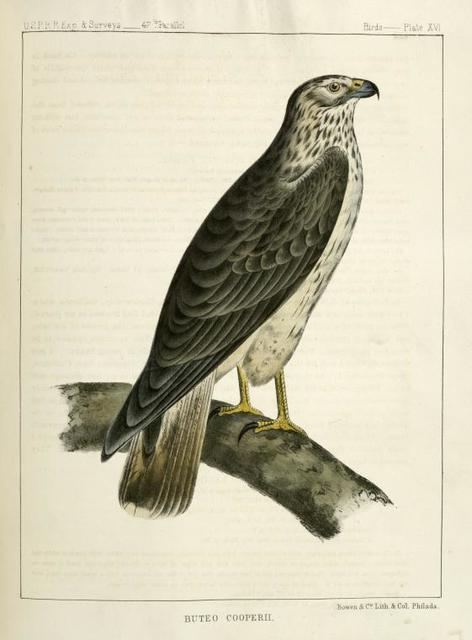 Buteo Cooperii, California  Hawk.