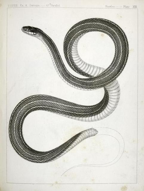 Eutania faireyi, Fairey's Garter Snake.