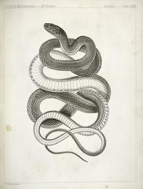 Eutania vagrans, The Large -headed Striped Snake. [?]