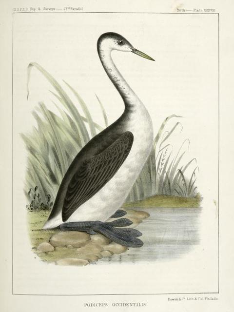 Podiceps occidentalis,  Long-necked Grebe.