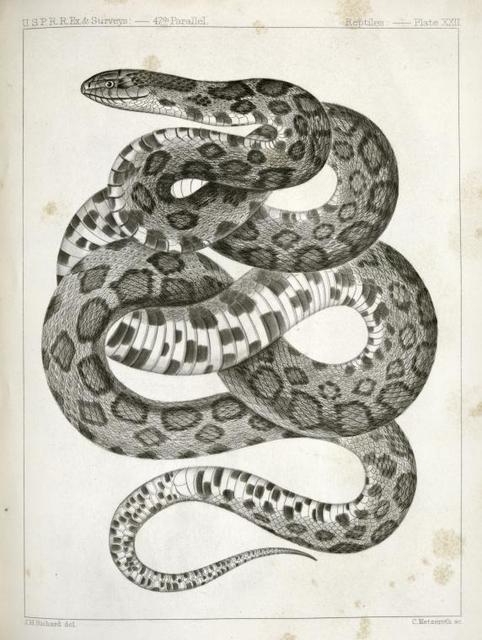 Scotophis vulpinus, Fox Snake.