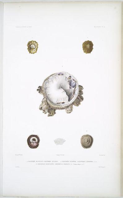 1. Calyptrée rugueuse, Calyptroea rugosa; 2. Calyptrée tubifère, Calyptroea tubifera; 3. Crépidule rayonnante, Crepidula radians.