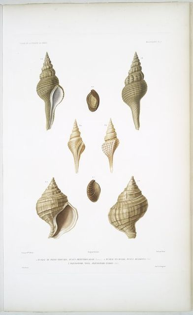 1. Fuseau de Petit-Thouars, Fusus petitthourasii; 2.  Fuseau en Bulbe, Fusus bulbosus; 3. Pleurotome tour, Pleurotoma turris.