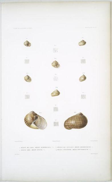 1. Hélice des bois, Helis nemorivaga; 2. Hélice liée, Helix vincta; 3. Hélice des buissons, Helix arboretorum; 4. Hélice entonnoir, Helix infundibulum.