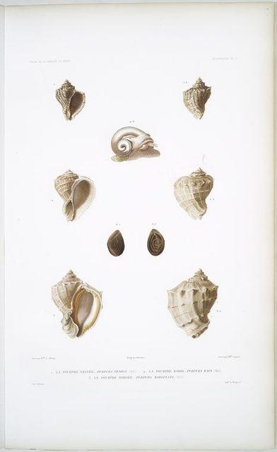1. La Pourpre veinée, Purpura venosa; 2. La Pourpre radis, Purpura rapa; 3. La Pourpre bordée, Purpura marginata.