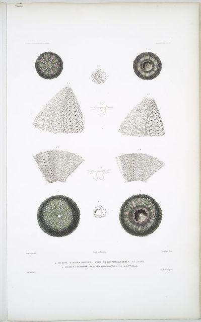 1. Oursin à raies rouges, Echinus erythrogrammus; 2. Oursin chlorosé, Echinus chloroticus.