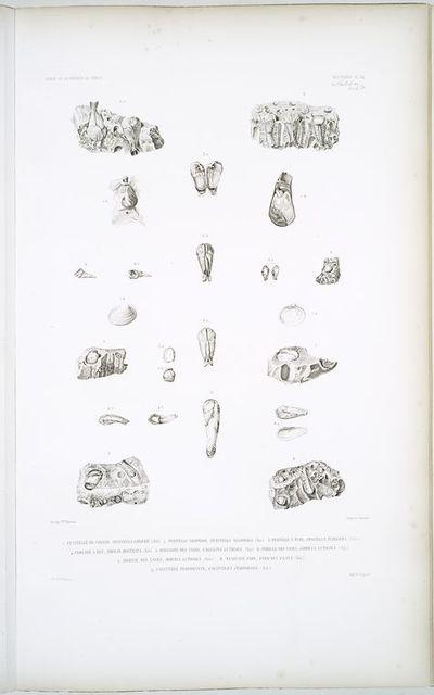 1. Penitelle de Conrad, Penitella conradi; 2. Penitelle xilophage, Penitella xilophaga; 3. Penitelle à tube, Pinitella tubigera; 4. Pholade à bec, Pholas rostrata; 5. Onguline des vases, Ungulina luticola; 6. Corbule des vases, Corbula luticola; 7. Bornie des vases, Bornia luticola,; 8. Saxicave clou, Saxicava clava; 9. Calyptrée perforante, Calypterae perforans.