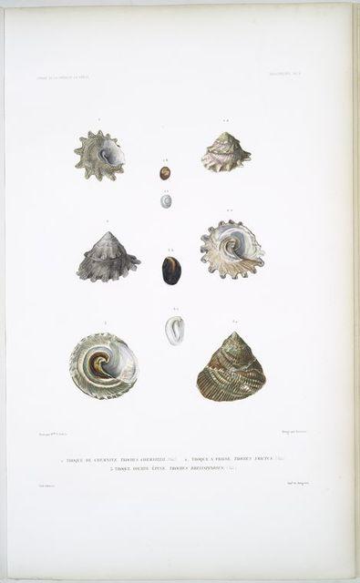 1. Troque de chemnitz, Trochus chemnitzii; 2. Troque à fraise, Trochus amictus; 3. Troque courte épine, Trochus brevispinosus.