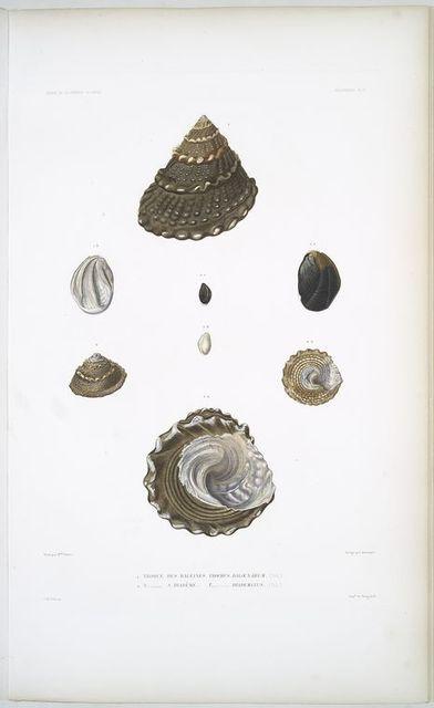 1. Troque des baleines, Trochus baloenarum; 2. Troque à diadéme, Trochus diadematus.