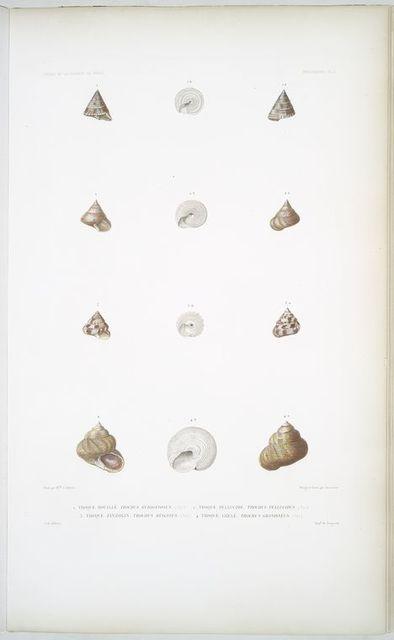 1. Troque rouillé, Trochus rubiginosus; 2. Troque pellucide, Trochus Pellucidus; 3. Troque Zinzolin, Trochus hysginus; 4. Troque grelé, Throchus grandineus.