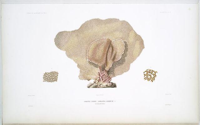 Gorgone crible, Gorgonia cribrum, (de la Nouvelle Zélande).