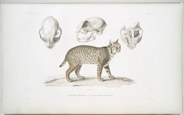 Le chat bai, Felis rufa. (Variété de Californie, en pelage d'hiver.)