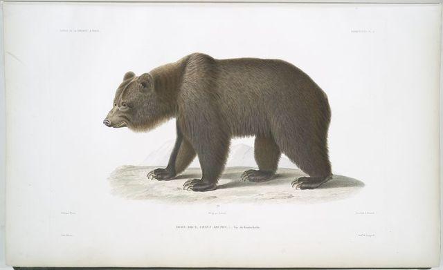 Ours brun, Ursus arctos.