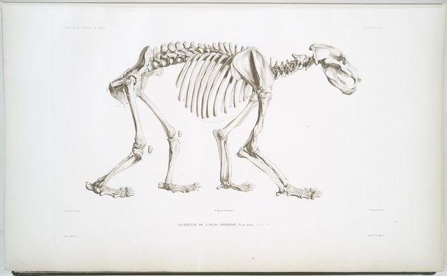Squelette de l'ours terrible, Ursus ferox.