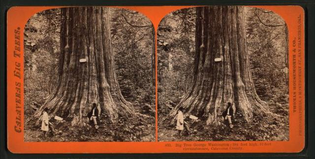 Big Tree, George Washington, 284 feet high, 52 feet circumference, Calaveras County.