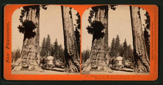 Section of the Big Tree, 30 feet in diameter, and House over the Stump, from the Sentinels.