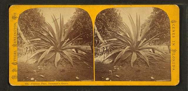 Century Plant, Dummett's Grove.