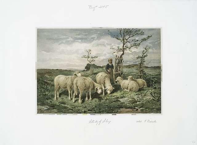 Study of Sheep.