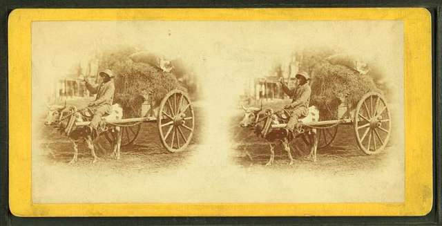 15th Amendment bringing his crop to town. [Man on an oxcart loaded with hay.]