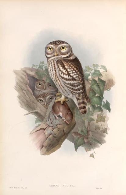 Athene noctua. Little Owl.