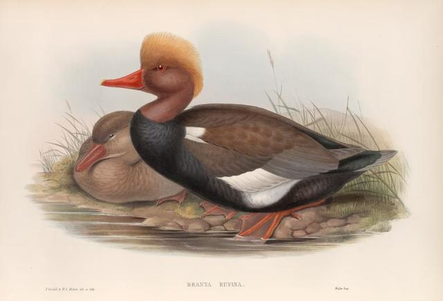 Branta rufina.  Red-crested Duck.