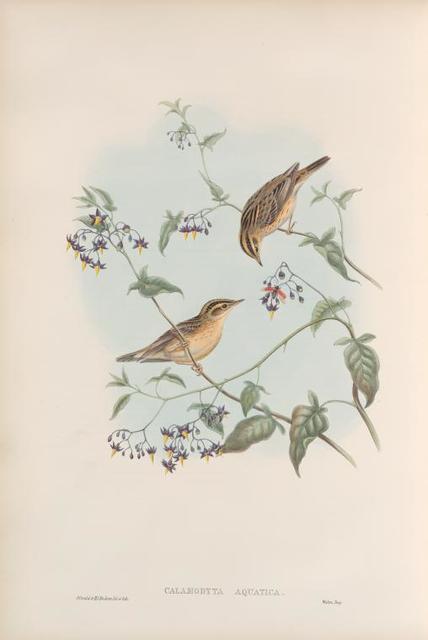 Calamodyta aquatica. Aquatic Warbler.