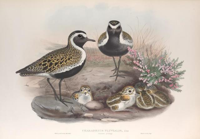 Charadrius pluvialis. Summer plumage. Golden Plover (summer plumage).